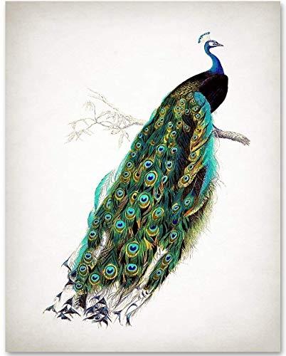 antique peacock illustration