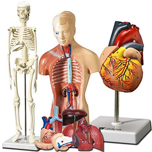 heart- torso and skeleton models