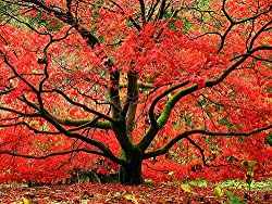 red japanese tree plant