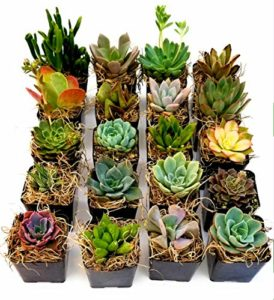 san diego miniature succulent plants