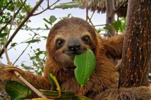 sloth eating a leaf