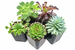 succulent plants in planter pots
